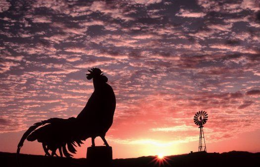 Rooster_Crowing_in_the_Morning_inspiringwallpapers.net_