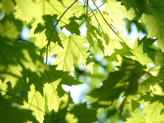 Season Summer Green Maple Leaves Leaf Tree